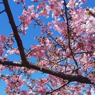 3/14 城址公園 桜.jpg