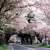 3/17 桜並木.jpg