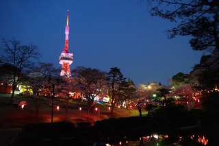3/19 八幡山公園 桜.jpg