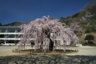 3/24 孝子桜.jpg