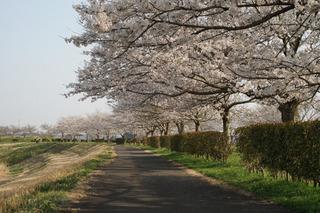 3/24 河内の桜堤.jpg