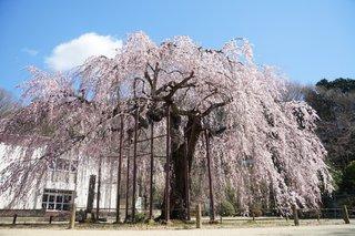 3/27 孔子桜.jpg