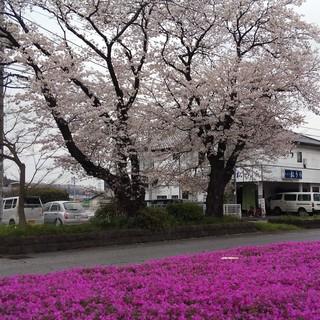3/31 日光街道桜並木.jpg
