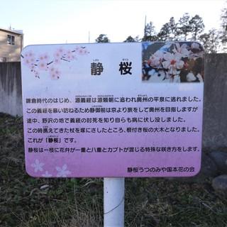 0205 静桜.JPG