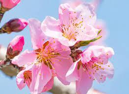 0228 桃の花.png
