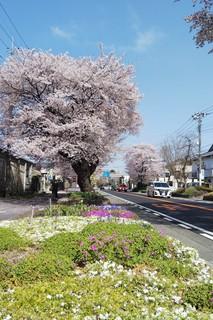 0401 桜並木.jpg