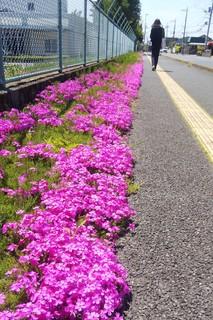 0427 芝桜.jpg