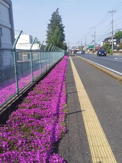 3/23 警察学校 芝桜 (2).jpg