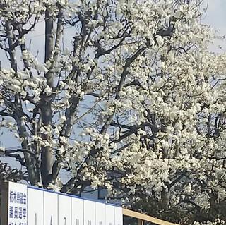 3/29 こぶしの花.jpg