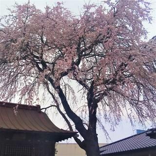 3/29 上戸公民館 桜.jpg