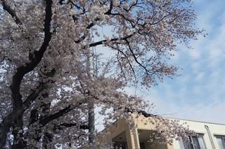 3/30 満開の桜�A.jpg