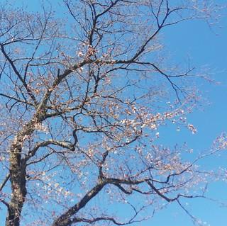 4/1 西門 桜�A.jpg