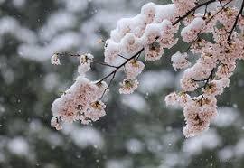 4/11 雪桜.png