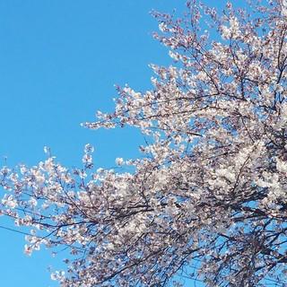4/3 若草三区公民館 桜.jpg