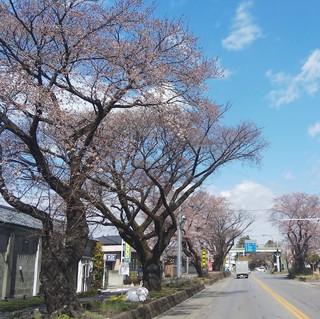 4/4 日光街道桜並木.jpg