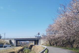 4/6 上戸小通学路桜.jpg