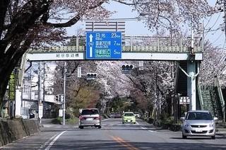 1/20 日光街道桜並木.jpg