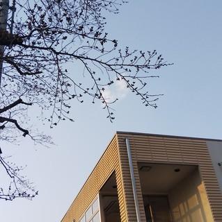 3/27 桜の蕾.jpg
