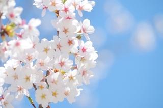 4/11 桜と青空.jpg