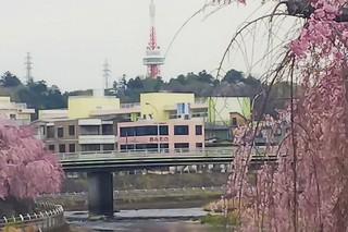 4/15 田川沿いのさくら.jpg