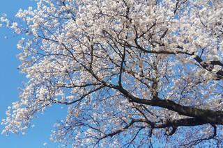 4/2 開拓公園桜.jpg