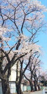 4/9 北門桜.jpg